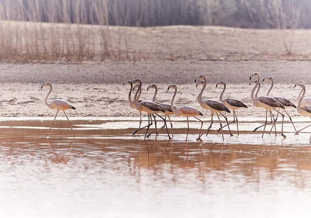 Flamingos Abu Dhabi