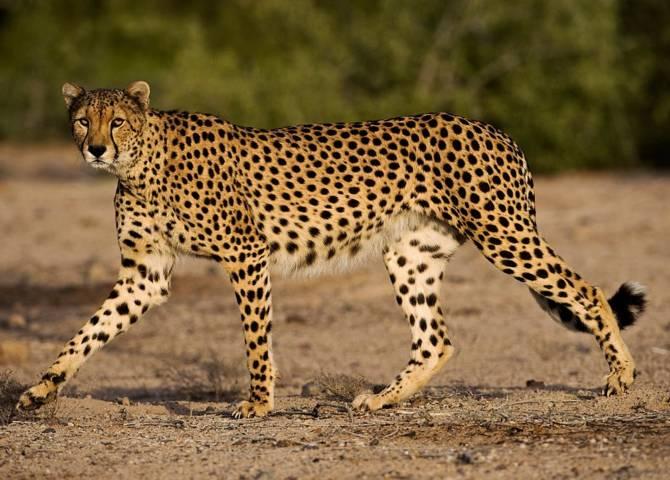 Sir Bani Yas Gepard