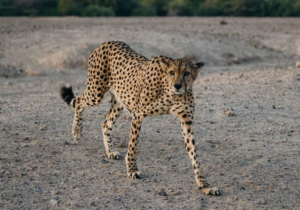 Sir Bani Yas Safari