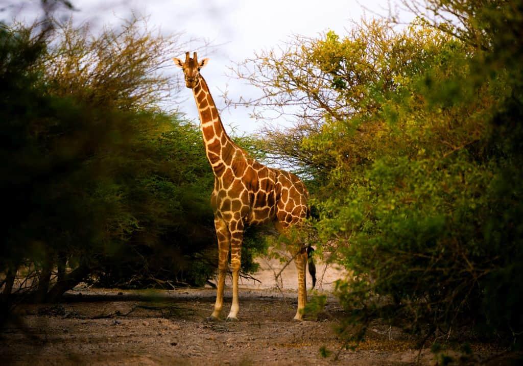 Giraffe Arabian Wildlife Park Abu Dhabi