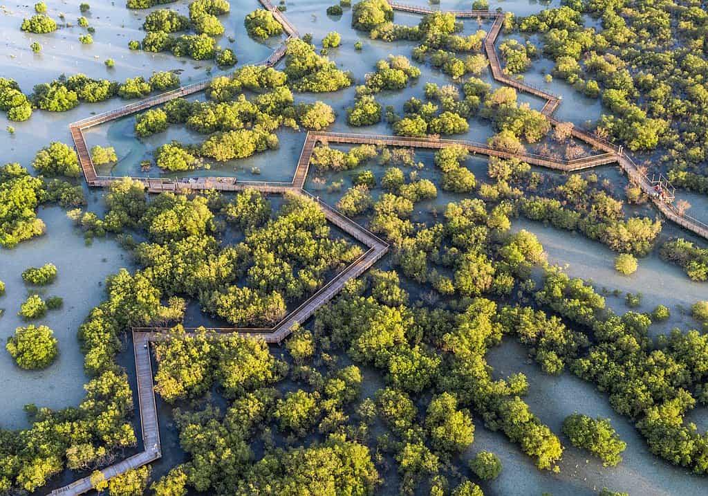 Mangrove Walk Jubail Ilsnad