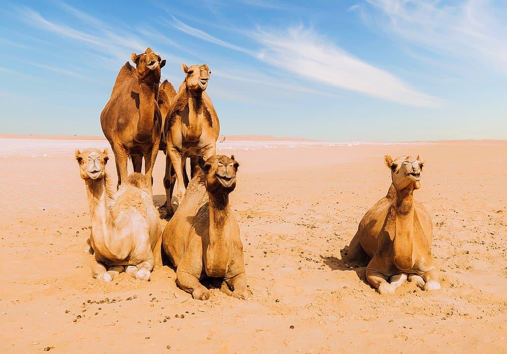 Wüstenkamele Abu Dhabi