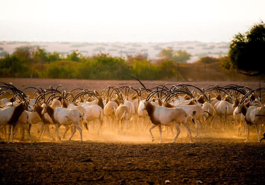 Sir Bani Yas Oryx