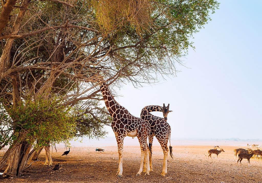 Giraffe AUH