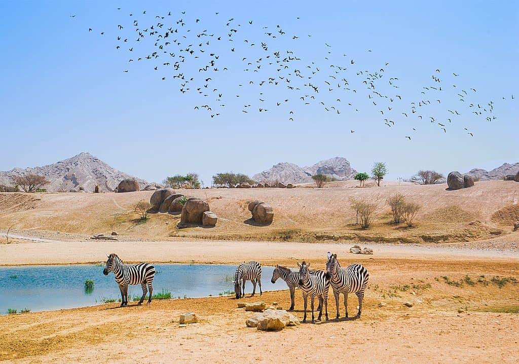 Zebras AUH